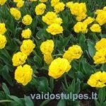 YellowPomponette
