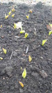 Tulpių dygimas